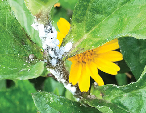 Mealybugs | Bayer Environmental Science US